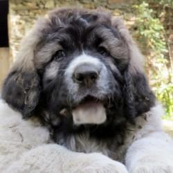 Gaspalleira, Mastín del Pirineo y Jack Russell Terrier