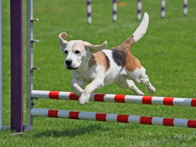 concursos de agility de perros