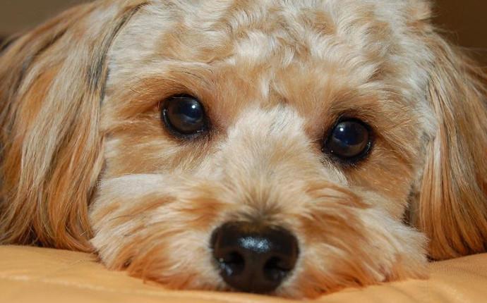 Mi perro siempre tiene los ojos sucios ¿Puede ser conjuntivitis?