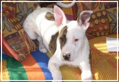 Razones para NO cortar las orejas y la cola de tu perro
