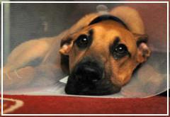 ¿Cómo curar la herida de un perro?