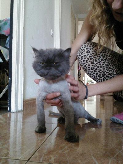 Corte de pelo a gatos persas
