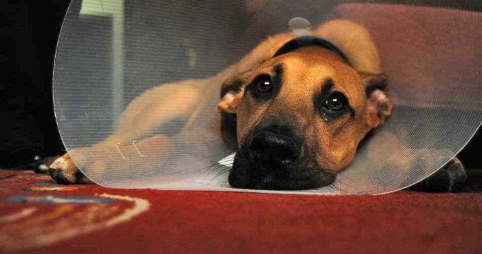 ¿Sabes cómo curar la herida de un perro?