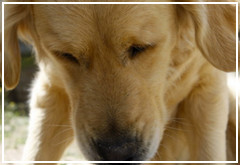 Perros españoles para detectar cáncer