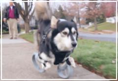La impresión 3D ayuda a recuperar la movilidad de un perro