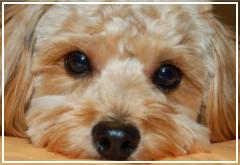 Mi perro tiene los ojos sucios ¿Conjuntivitis?