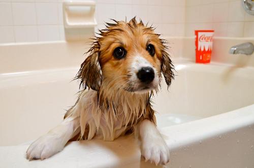 C mo ba ar a mi perro mi perro es nico - Cuando se puede banar a un perro ...