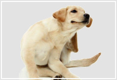 Mi perro tiene pulgas ¿Qué puedo hacer?