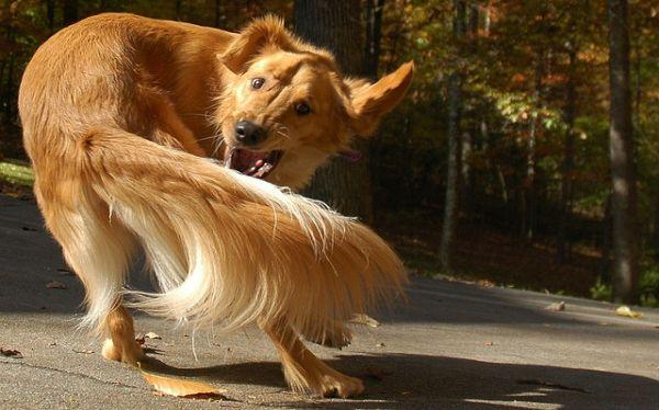 Los perros pueden tener TOC (trastorno obsesivo compulsivo)