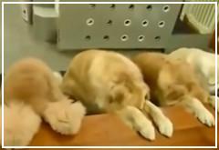 Perros simulando reverencia antes de comer