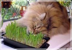 La hierba gatera
