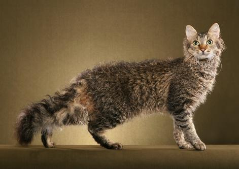 Raza de gato LaPerm