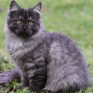 Gato Alemán de pelo largo