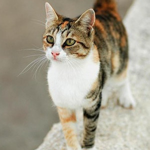 Raza de Gato Aegean o Gato del Egeo