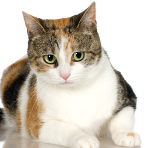 Raza de Gato American Shorthair Calicó
