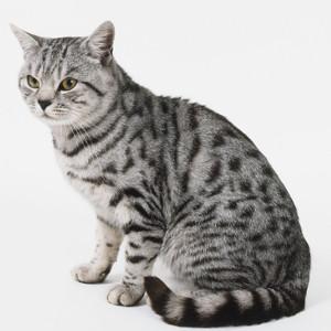Raza de Gato American Shorthair Tabby