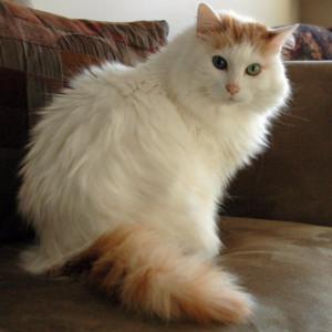 Raza de Gato Anatolia