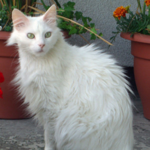 Raza de Gato Angora Turco