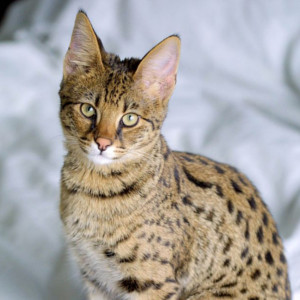 Raza de Gato Ashera