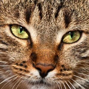 Raza de Gato Asiático Humo Atigrado