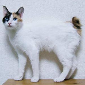 Raza de Gato Bobtail Japonés