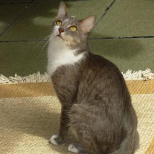 Raza de Gato Brazilian Shorthair (Brasileño de pelo corto)