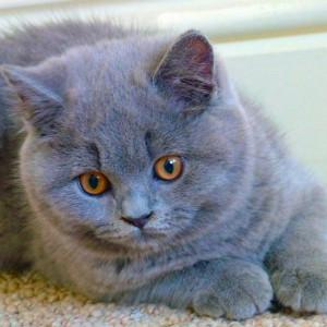 Raza de Gato British Blue (Británico Azul de pelo corto)