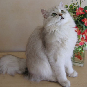 Raza de Gato British Longhair (Británico de pelo largo)
