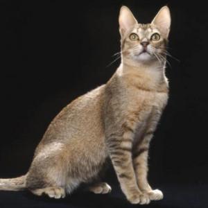 Raza de Gato Ceilán o Gato de Sri Lanka