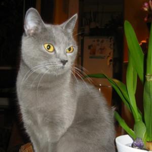 Raza de Gato Chartreux