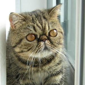 Raza de Gato Exótico