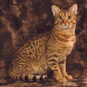Raza de Gato Ocicat
