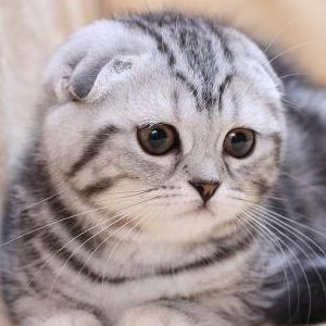 Raza de Gato Scottish Fold