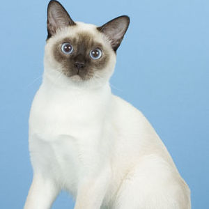 Raza de Gato Tonquinés
