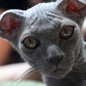 Raza de Gato Ucraniano