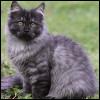 Raza de Gato - Alemán de pelo largo
