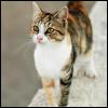 Raza de Gato - Aegean o del Egeo