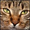 Raza de Gato - Asiático Humo Atigrado