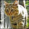 Raza de Gato - Bobtail Americano