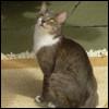 Raza de Gato - Brazilian Shorthair