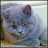 Raza de Gato - British Blue