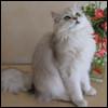 Raza de Gato - British Longhair
