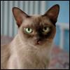 Raza de Gato - Burmés