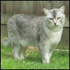 Raza de Gato - Burmilla