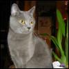 Raza de Gato - Chartreux