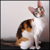 Raza de Gato - Cornish Rex