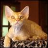 Raza de Gato - Devon Rex