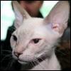 Raza de Gato - Don Sphynx