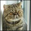 Raza de Gato - Exótico