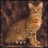 Raza de Gato - Ocicat